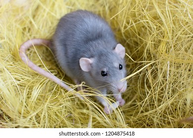 rat in the hay, decorative home rat, rodents, grey house rat