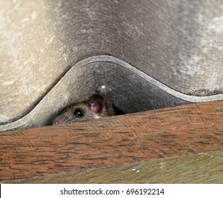 The rat hid in the space between the wooden beam and the roof tiles,Hiding of mice, Rodent that is carriers of the disease