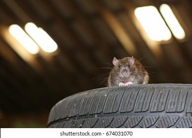 rat infestation rat on car tires