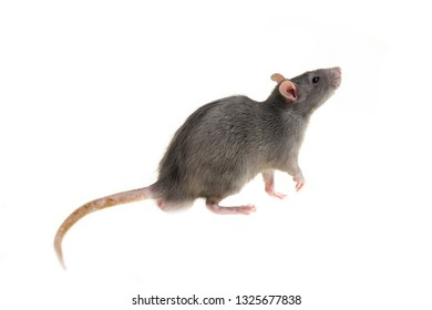 rat isolated background gray small side view pet fluffy smart
