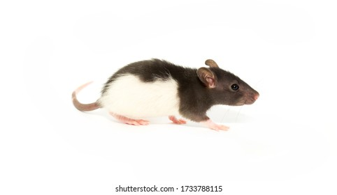 Rat isolated on white background. Home Mouse symbol 2020 new year. He eats food of a worm and sunflower seeds and stands on his hind legs.