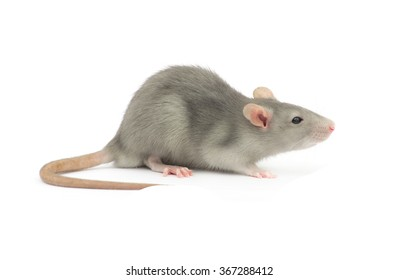 rat isolated on the white background