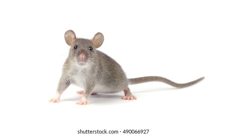 rat isolated on white background