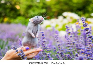 Rat in lavender. Blue rat sitting in hand outdoor. Rat is a symbol of 2020 according to the Eastern calendar.