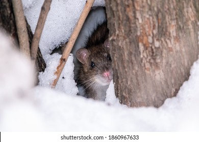 The rat looks out of its burrow. The brown rat, latin name Rattus norvegicus, also known as the common, street or Norwegian rat