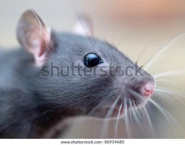 Rat. A macro closeup of a female rat's head.