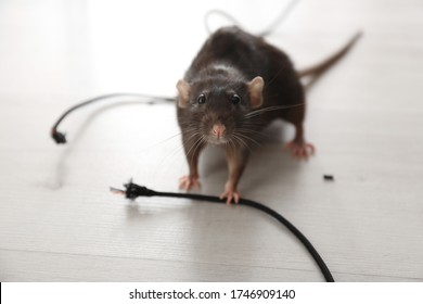 Rat near gnawed cable indoors. Pest control