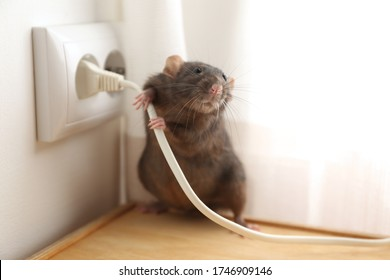 Rat near power socket indoors. Pest control