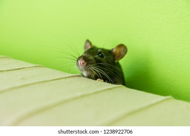 rat on the bed