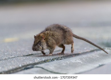 Rat on the street during the day