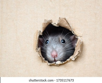 rat peeps out of a hole in a box