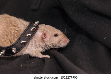 A rat in a prickly collar. Beige mouse against black background. Decorative rodents large plan.