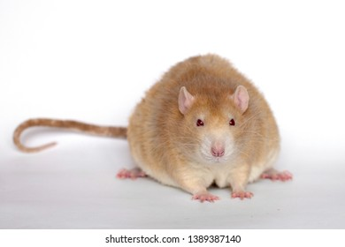 Rat. Redheaded rat on a white background