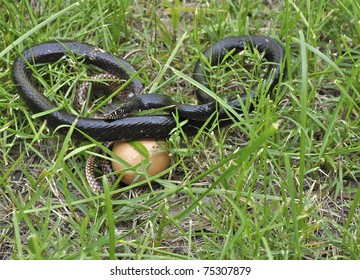 Rat snake with egg in grass