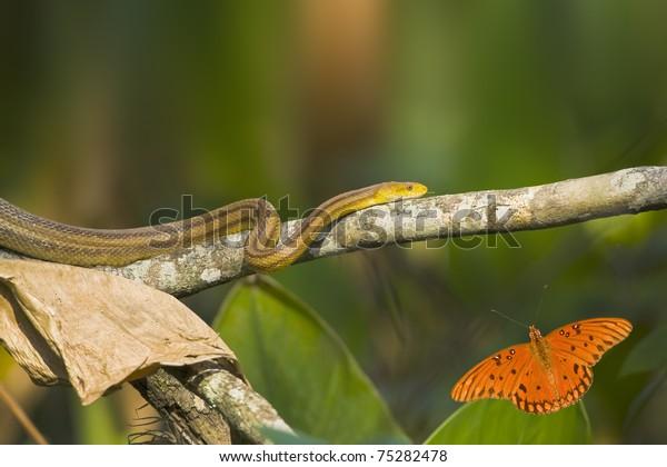 Rat snake moving along dry log. Latin name- Elaphe obsoleta quadrivittata. Butterfly - Gulf Fritillary. Latin name -Agraulis vanillae.