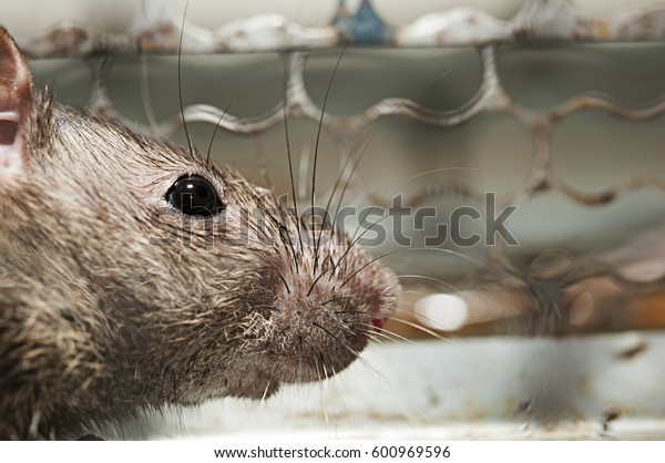 Rat in a spring-trap.