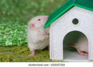 A rat stands near a small decorative house with a green roof. Beige mouse close up.