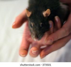 Rat Stock