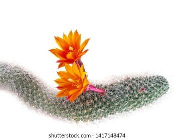 Rat tail cactus flowers, studio isolated on white, Aporocactus flagelliformis.