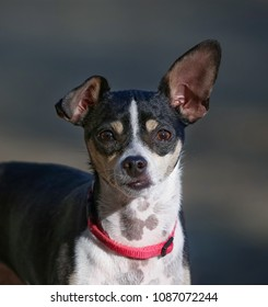 rat terrier in the hot sun on a summer day