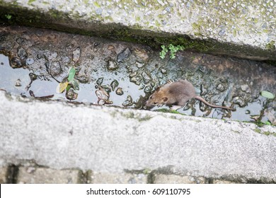 Rat trapped between gutters in city outdoors