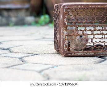 Rat is trapped in a trap cage or trap. the dirty rat has contagion the disease to humans such as Leptospirosis, Plague. Homes and dwellings should not have mice. cage catching control a rat