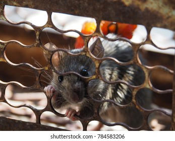 Rat is trapped in a trap cage or trap. It is one way to get rid of it. Animals that carry the disease