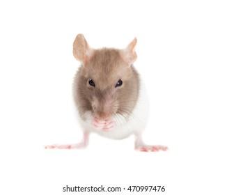rat washes