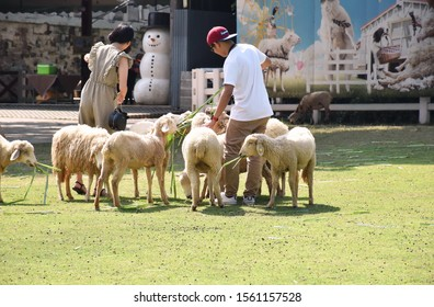 Ratchaburi, Thailand, 10 Nov 2019 - A sheep farm, young women and men standing on the grass. Feeding sheep, sheep grass, tourists walk, relax on a bright and enjoyable holiday.