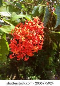 Rath mal flower in sri lanka