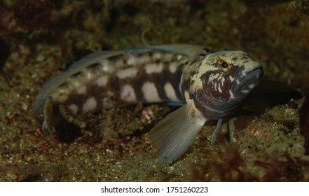 Rathbunella hypoplecta, Bluebanded Ronquil, male