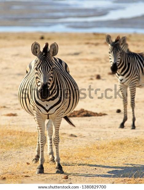 rather-big-bloated-burchell-zebra-600w-1