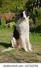 Rather massive black and white borzoi dog on a lawn in a park.