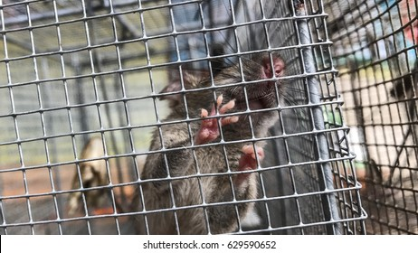 Rats and baits in a cage trap. it try to find the light way.