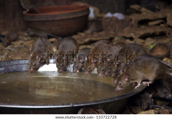 Rats drinking water provided for them at Karni Mata, Rat Temple,  Deshnoke near Bikaner, India.  Believed to be reincarnations of the Karni Mata's male offspring the rats are revered in the temple.