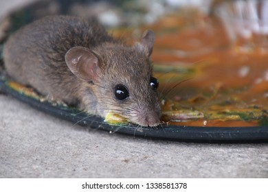 rats in glue stick on the mousetrap.Dangerous disease plague , rabies and hydrophobia from rats concept.