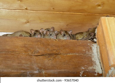 Rats in a shed