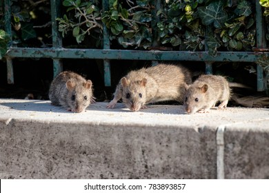rats at the square of notre dame in paris