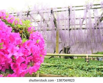 Rattan flowers in the garden of Byodouin Temple