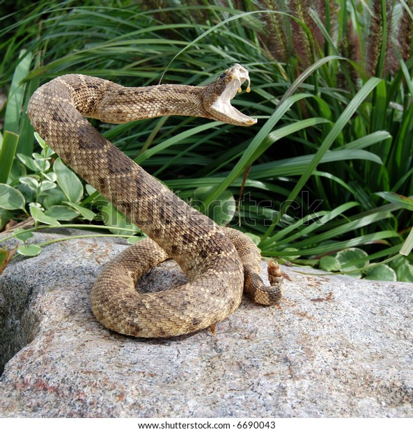 rattle snake coiled for attack
