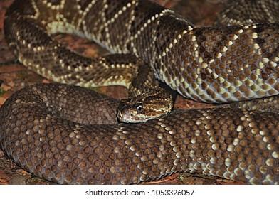 Rattlesnake Cascabel (Crotalus durissus)