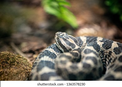 a rattlesnake coiled up on a mossy stone