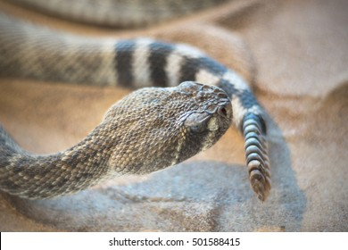 Rattlesnake ( crotalus) close up view