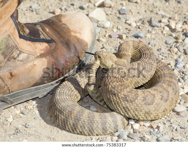 rattlesnake looks at a boot after a strike