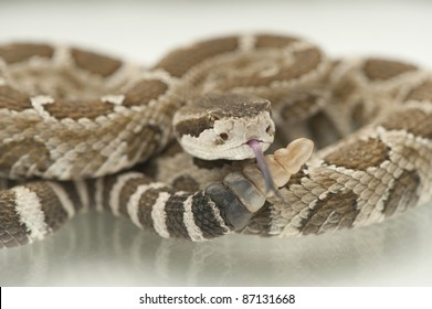 Rattlesnake, tongue out, showing rattles