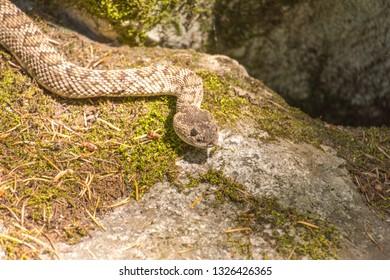 rattlesnake Images, Stock Photos & Vectors | Shutterstock