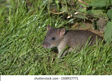 Rattus norvegicus, The common brown rat