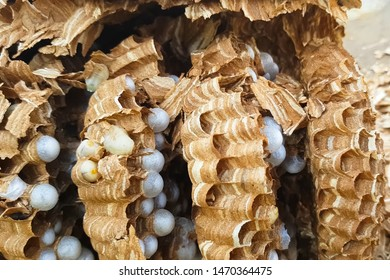 The ravaged nest of hornets, honeycombs and larvae of hornets wasps.