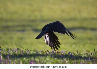 A raven bird is fluttering over grass and flowering crocuses