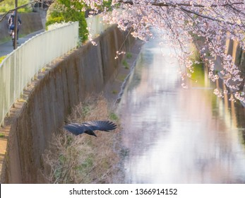 Raven bird flying and the Cherry Blossom trees and flowers Sakura in Tokyo.